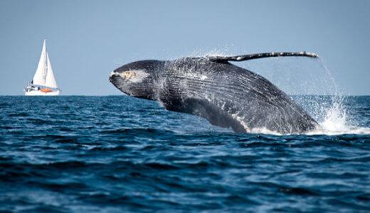 日本国内で野生のクジラが見れる場所まとめ|おすすめホエールウォッチングツアーを紹介