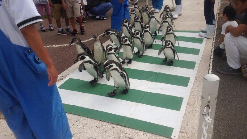 越前松島水族館のペンギンパレード