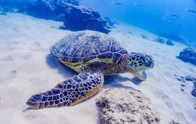 水中のウミガメ