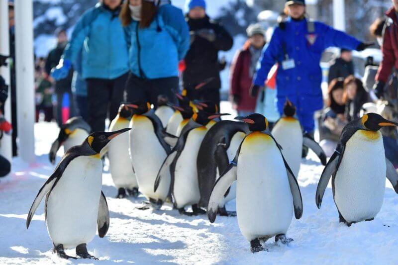 旭山動物園のペンギンが更新している