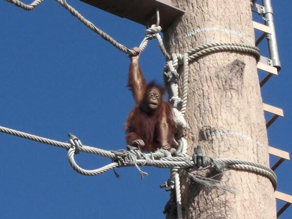 旭山動物園のオランウータンがロープに登っている