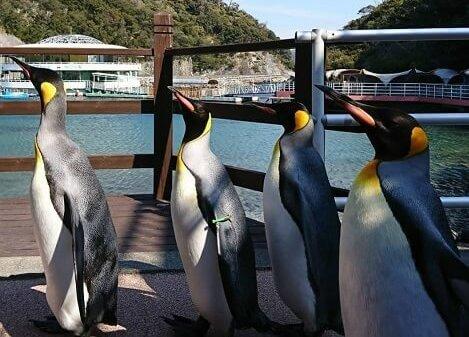 下田海中水族館のペンギンの行進