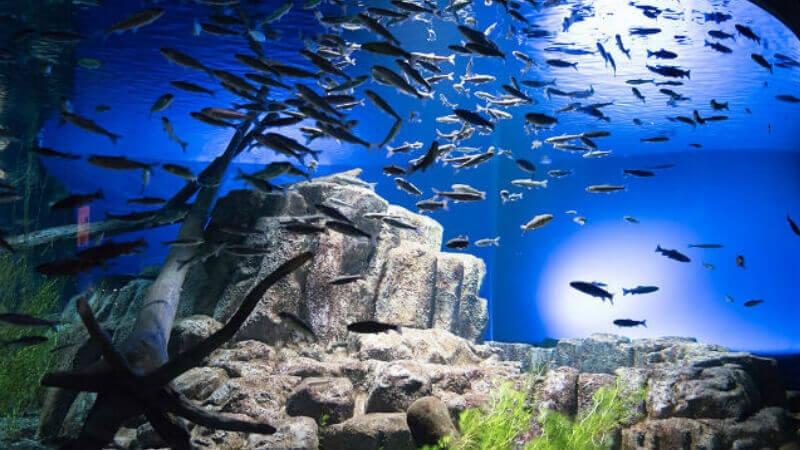 サケのふるさと千歳水族館の水槽