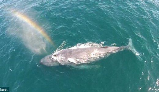 【動画あり】クジラの潮吹きによって作られた虹がスゴイ!