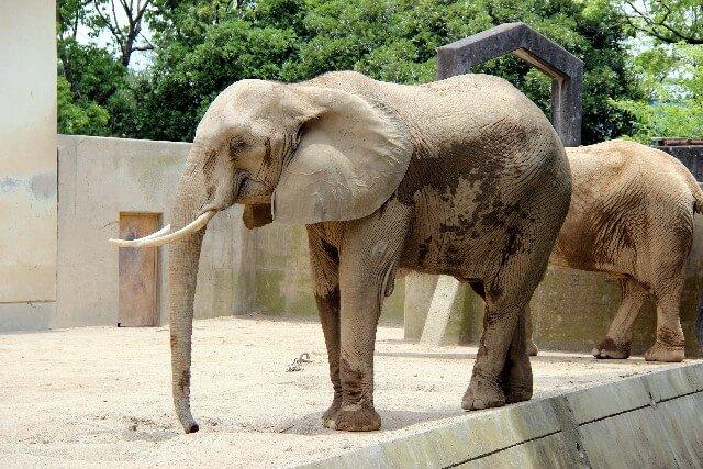 動物園のゾウ