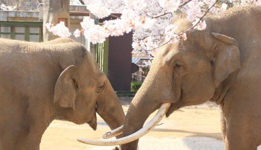 日本全国「ゾウがいる動物園」まとめ!象は子供からカップルまで大人気だぞう!