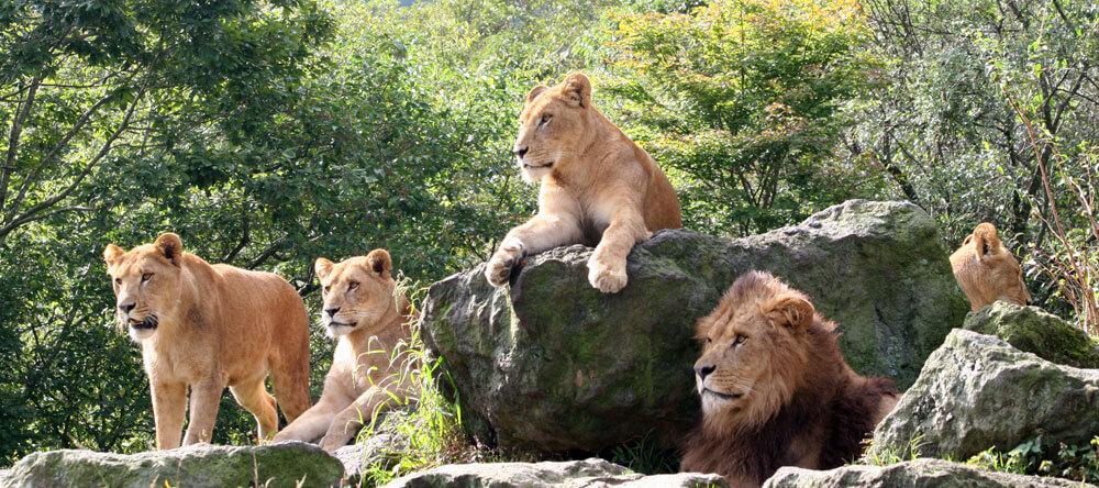 富士サファリパークのライオン