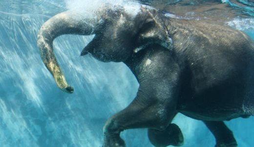 日本初「泳ぐ象」が見れる注目の動物園!静岡県富士サファリパークがすごいゾウ!