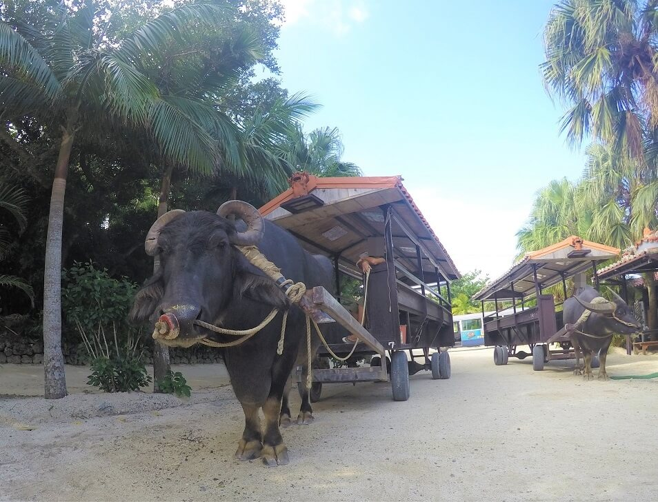 竹富島水牛車観光の牛